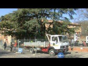Cedro del Libano: operazione salvataggio