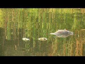 """Moria pesci, USL: """"Manca l'ossigeno nei canali"""""""