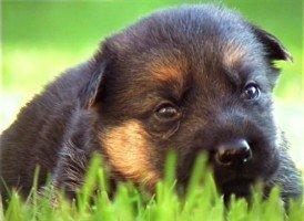 Ragazzina denunciata per furto di un cucciolo di pastore tedesco