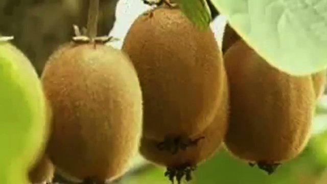 bruni cso kiwi